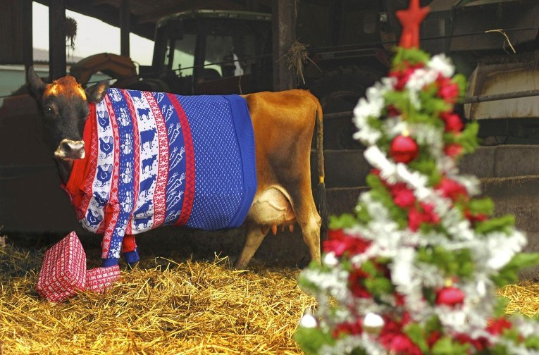 Christmas cow pictures