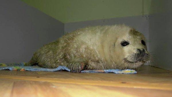 Тюлененок, которого нашли на льдине в Приморье, в реабилитационном центре Тюлень. Фото с места события