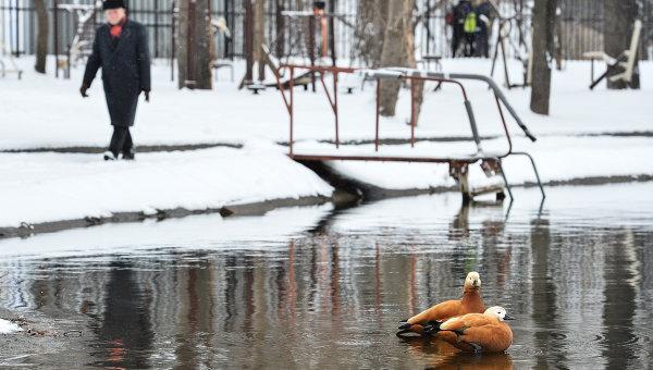Утки на пруду Бекет возле Загородного шоссе в Москве. Архивное фото