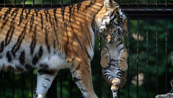 Амурская тигрица с детенышем в зоопарке. Архивное фото