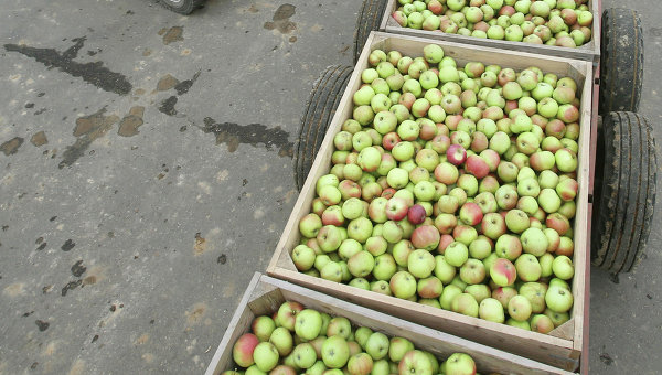 Сбор урожая яблок. Арихвное фото