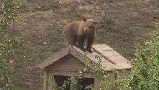 Спасенные активистами медвежата-сироты Эмма, Рон и Оська осваивались в лесу