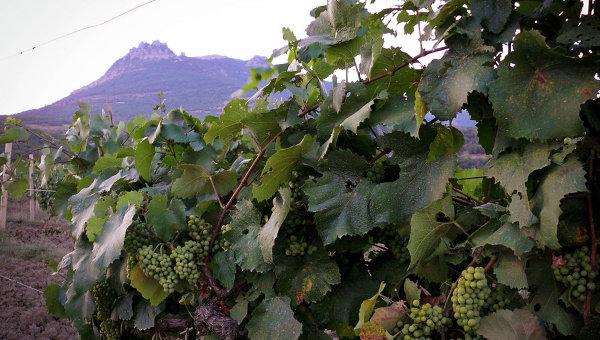 Виноградник в Крыму. Архивное фото