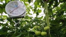 Выращивание овощей в тепличном хозяйстве. Архивное фото