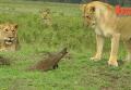 Мангуст показал образец отваги, вступив в схватку с львами