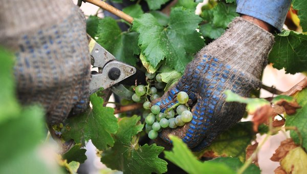 Уборка винограда. Архивное фото