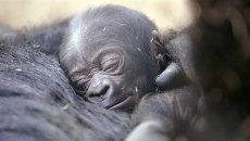 Самка гориллы гладила детеныша и позировала посетителям зоопарка в Сан-Диего