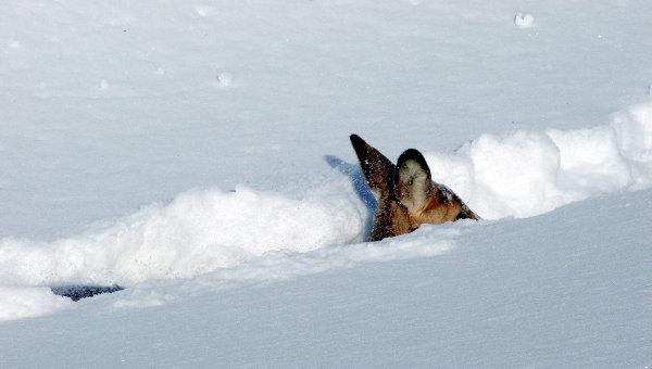 Животные во время снегопадов на Дальнем Востоке