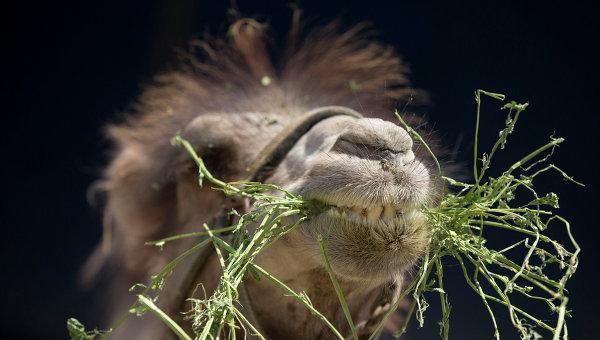 Цирковой верблюд. Архивное фото