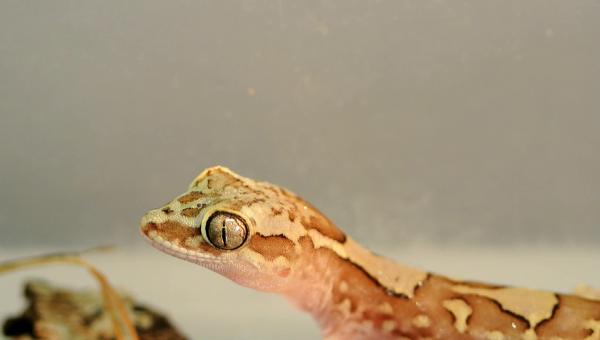 Австралийские гекконы обладают уникальной кожей, на которой вода не может образовать пленку