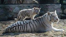 Бенгальская белая тигрица играет с детенышем в Новосибирском зоопарке