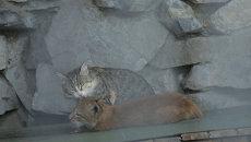 Мама для хищницы: кошка воспитывает рысь Нику в зоопарке Новосибирска