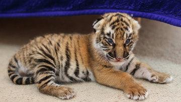 Новорожденный тигренок. Архивное фото