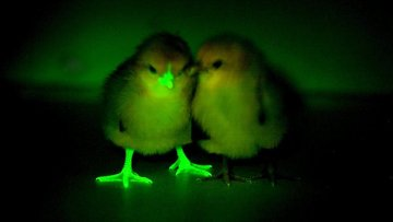 Генетически модифицированный цыпленок