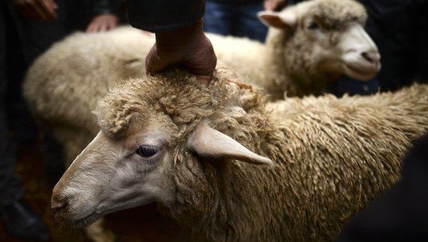 НаКурбан-байрам Кадыров раздаст неимущим 60 тыс. овец