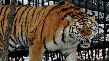 Молодая амурская тигрица, привезенная из питомника Московского зоопарка, обживает свое новое место в сафари-парке. Архивное фото