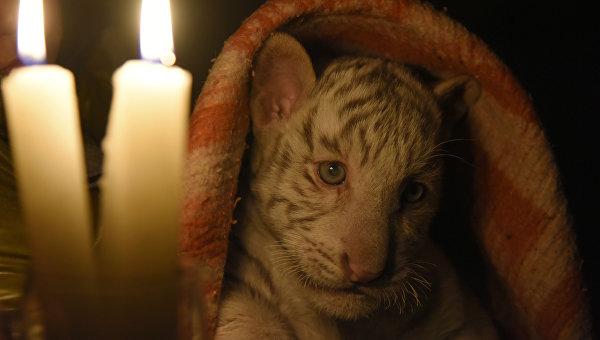 Бенгальский тигренок в зоопарке Ялты