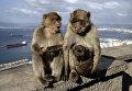 Берберские обезьяны