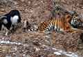 Дружба козла Тимура и тигра Амура в Приморском сафари-парке