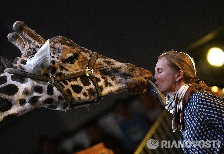 Жираф на премьере Новогодней программы Цирка больших зверей в Сокольниках