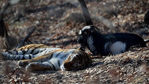Уссурийский тигр Амур и козел Тимур в вольере Приморского сафари-парка. Архивное фото