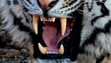 Пасть уссурийского тигра Амура. Архивное фото