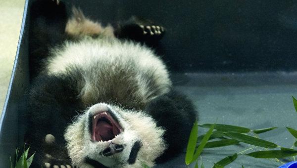 Панда в Национальном зоопарке Вашингтона. Архивное фото