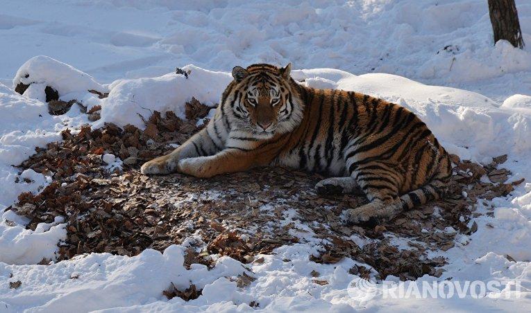 Уссурийский тигр Амур в вольере Приморского сафари-парка