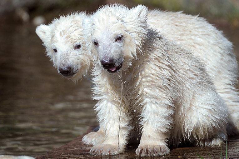 Белые медвежата в зоопарке Германии