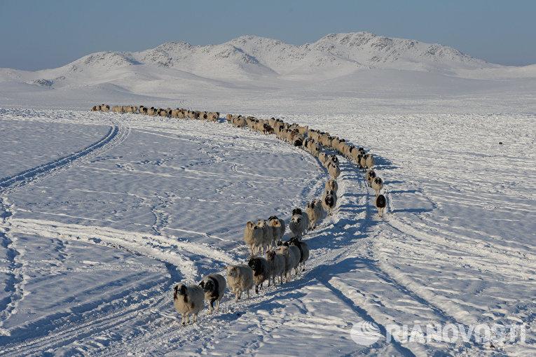 Отара овец возвращается к зимней чабанской стоянке в местечке Чумур-Ой Тес-Хемского кожууна Республики Тыва
