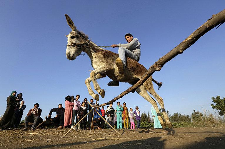 Египетский фермер катается на осле