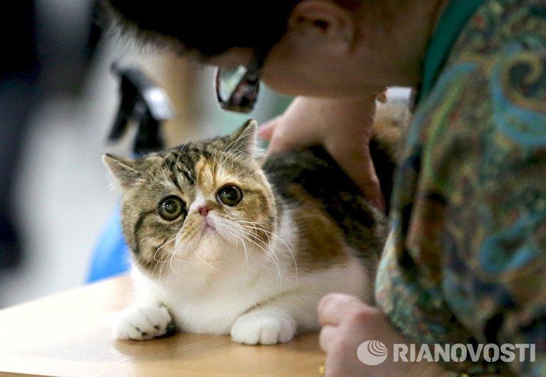Экзотическая короткошерстная кошка на выставке кошек и котов День влюбленных котов в КВЦ Сокольники
