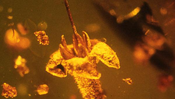 Ископаемый цветок Strychnos electri