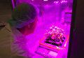 """Ученый собирает астры, выращенные в земной версии """"космической фермы"""" Veggie"""