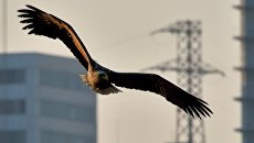 Краснокнижные орланы зимуют в центре Владивостока