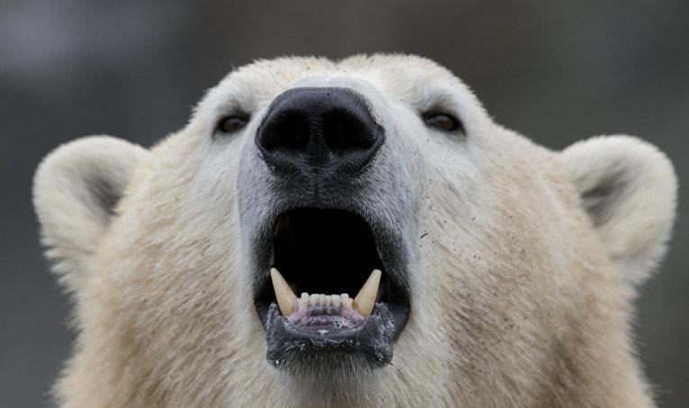 Белый медведь в зоопарке Шенбрунн в Вене