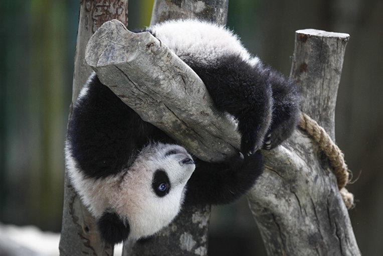 Панда в национальном зоопарке в Куала-Лумпур