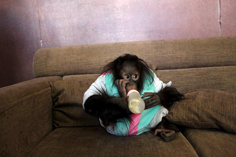 Орангутанг пьет молоко