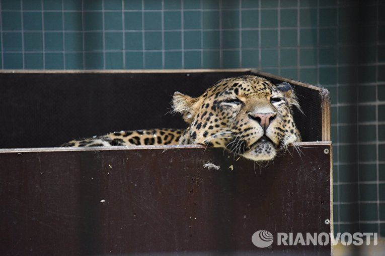 Леопард в Зоологическом саду Берлина