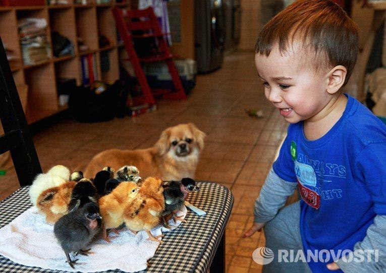 Сын селекционера Вячеслава Корова Елисей с породистыми цыплятами на ферме в поселке Васкелово
