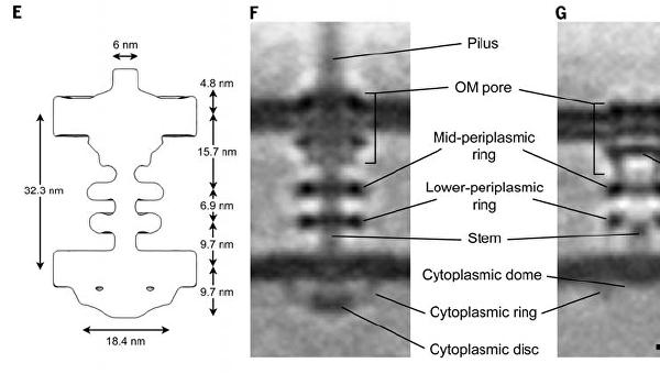Мотор абордажного крюка бактерии Myxococcus xanthus