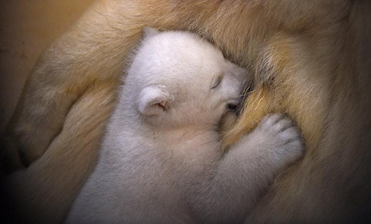 Белые медведи в зоопарке города Бремерхафен, Германия