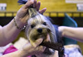 Терьер на выставке Crufts Dog Show в Бирмингеме, Англия