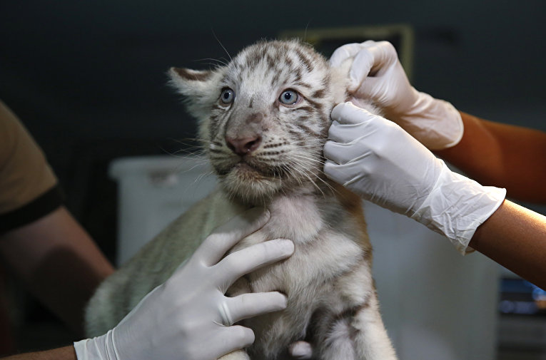 Ветеринары проверяют бенгальского тигренка в частном зоопарке Лимы. Перу, 16 марта 2016