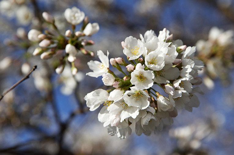ВЯпонии отмечают начало цветения сакуры