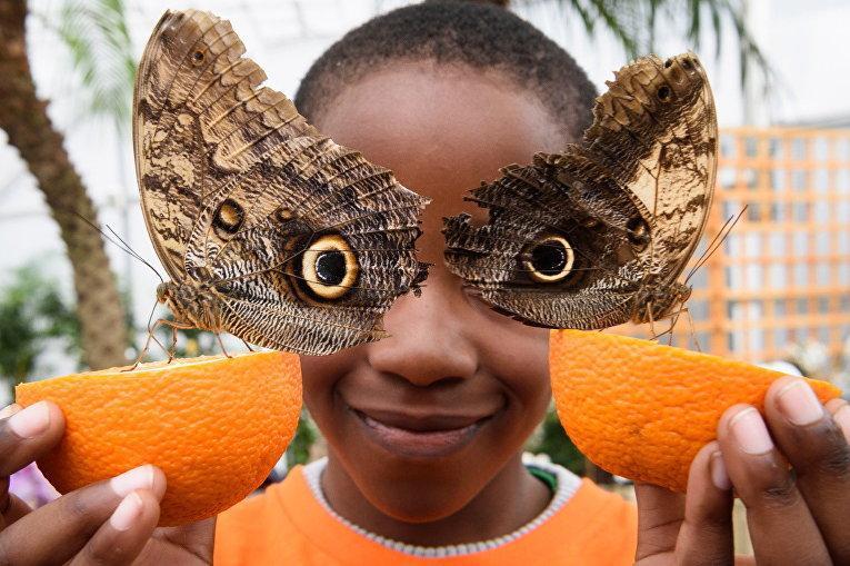 Бабочка Калиго (бабочка-сова) на выставке бабочек в Музее естественной истории в Лондоне, Великобритания