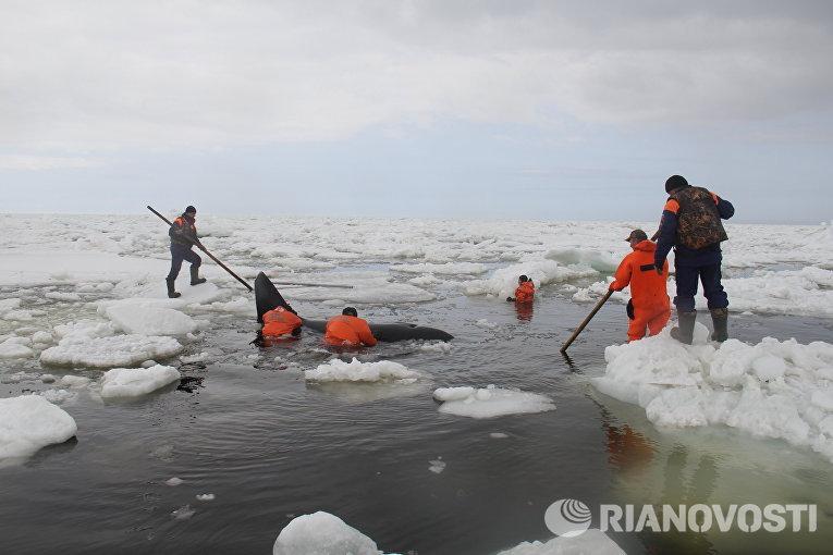 На Чукотке ученые будут изучать популяции китообразных