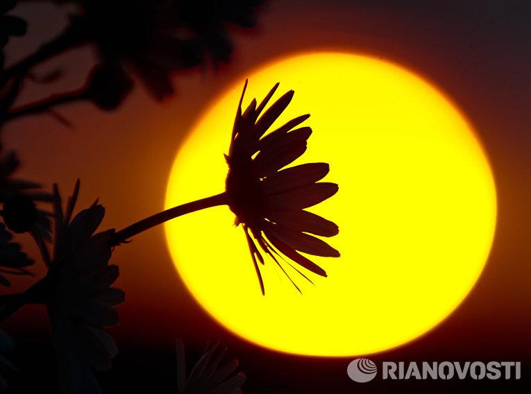 Ромашки на фоне заходящего солнца в окрестностях Грушевого озера в Симферопольском районе Крыма