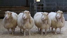 Клоны овечки Долли, родившиеся в 2007 году