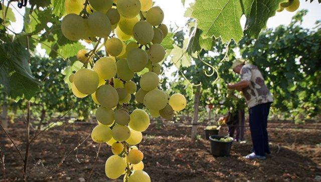 Сбор фруктов в Крыму. Архивное фото